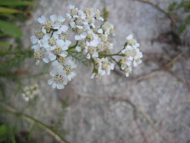 A photo of Yarrow flowers.