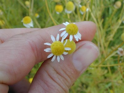 A close-up photo of a hand holding a few chamomile flowers.