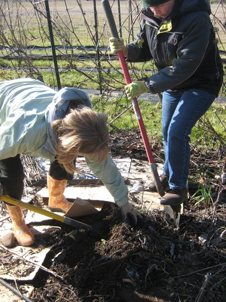 A photo of two people diggin up Echinacea purpurea root. One with a shovel and one pulling it out of the ground.