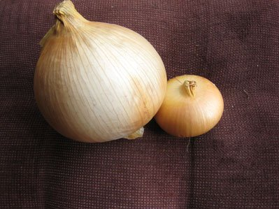 Two onions from last years garden.