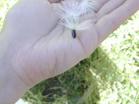A photo of a hand holding a Milk thistle seed.