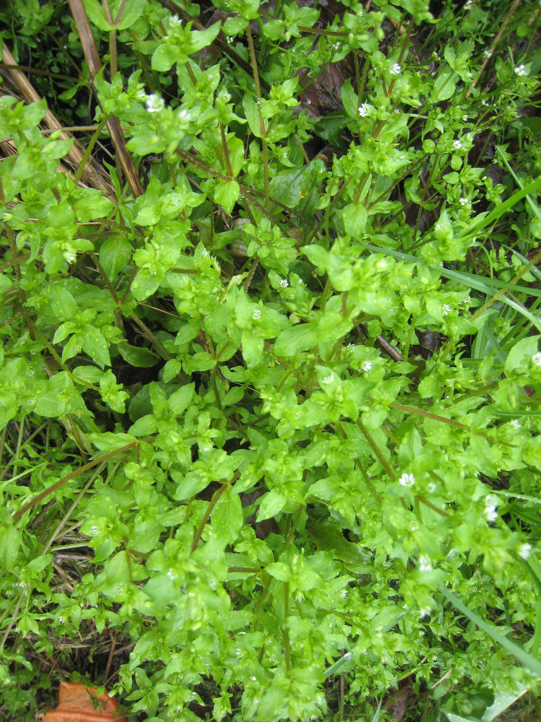 Chickweed photo in the spring when plant is fresh, green and succulent.