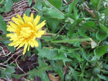 A photo of a new Dandelion flower opening up.