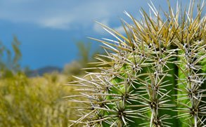 A photo of a spiny cactus to depict what a bone spur feels like.