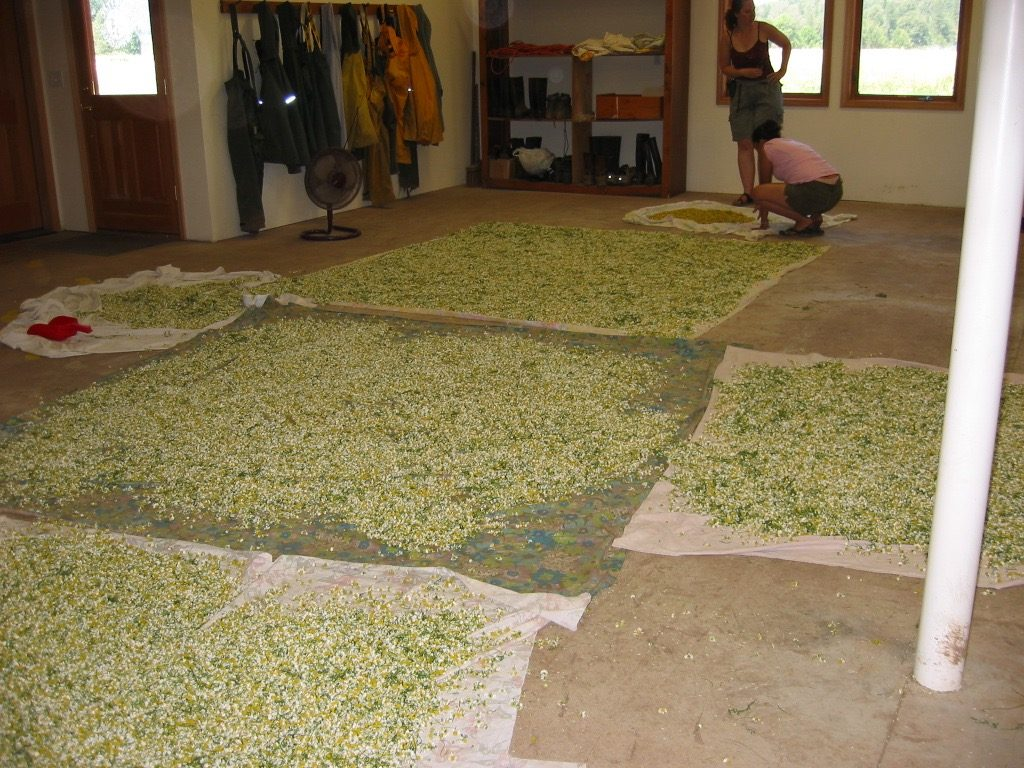A photo of chamomile flowers drying on sheets laid all over the floor.