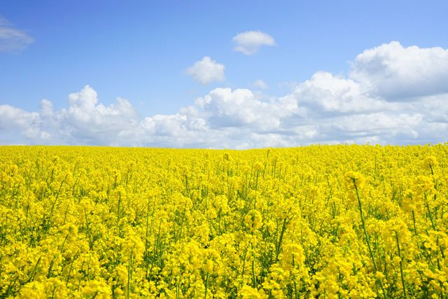 Photo of a field of yellow flowers.