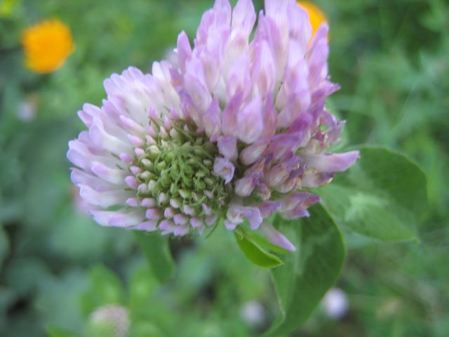 A photo of a Red clover flower