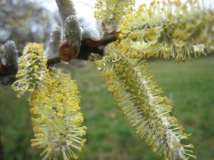 Photo of Willow flowers