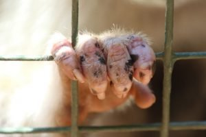 Photo of an apes hand on bars.