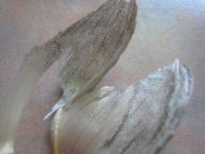 Aspergillus niger growing on Garlic skin.