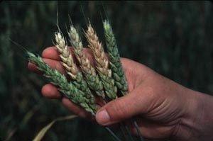 Wheat with Fusarium mycotoxins