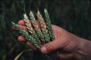 Wheat with Fusarium mycotoxins