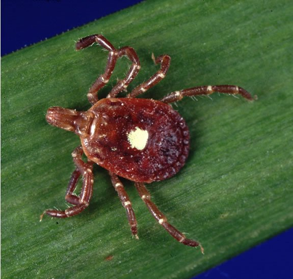 Lone star tick photo.