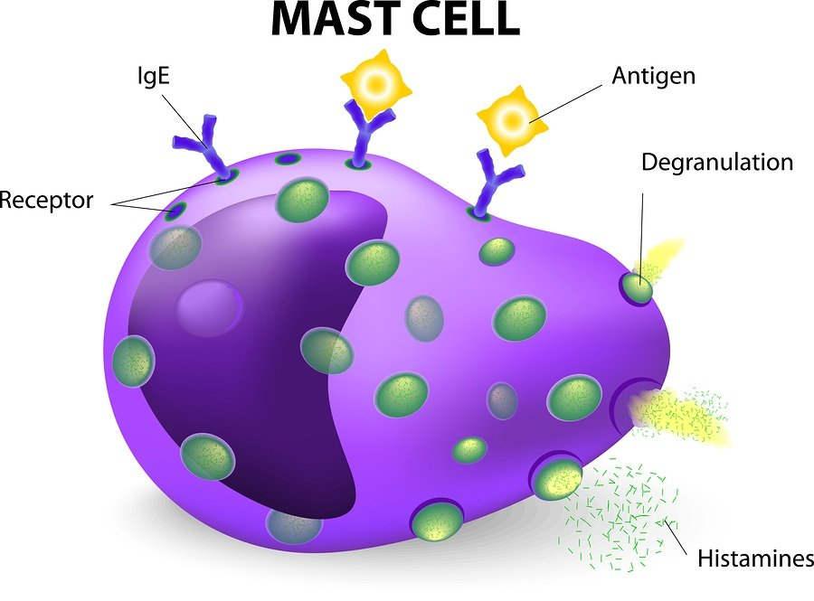 Drawing of mast cell.