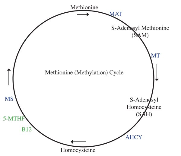 Diagram of a basic methionine cycle with enzymes listed.