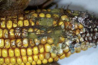 Aspergillus flavus on corn.