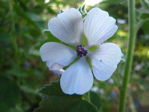 Marshmallow Althaea officinalis flower