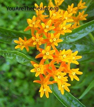 Asclepias tuberosa flowering