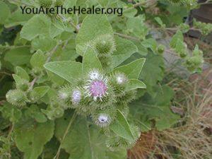 Burdock Arctium lappa flowering