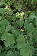 Blue Cohosh Caulophyllum thalictroides