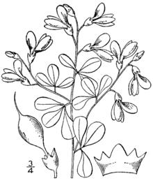 Wild Indigo Baptisia tinctoria drawing