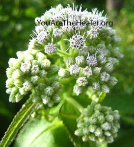 Eupatorium perfoliatum Boneset flowers