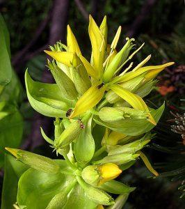 Gentiana lutea Gentian flowers