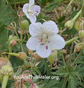Geranium maculatum flowers