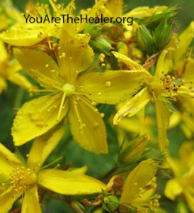Hypericum Saint John's wort flowers