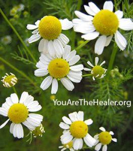 Matricaria recutita Chamomile flowers