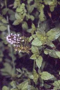 Mentha piperita Peppermint