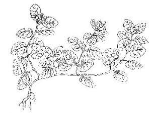 Mitchella Repens Partridge Berry