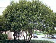 Bayberry Myrica Cerifera