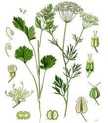 Pimpinella Anisum Anise
