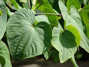 Piper methysticum Kava