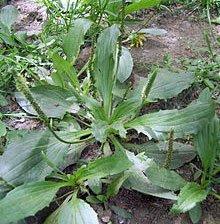 Plantago asiatica Psyllium