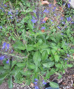 Salvia miltiorrhiza Danshen
