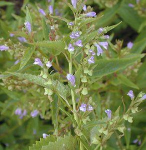 Scutellaria lateriflora Skullcap
