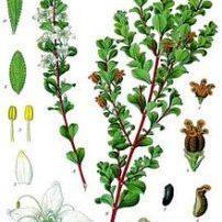 Agathosma (Barosma) betulina Buchu