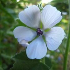 Marshmallow Althaea officinalis flower