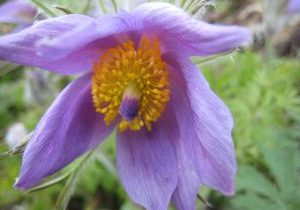 Photo of Anemone pulsatilla
