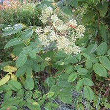 Spikenard Aralia californica whole plant going to seed