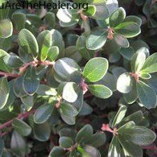 Arctostaphylos uva ursi