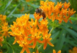 A photo of Asclepias tuberosa with a bee