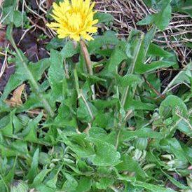 Dandelion-Taraxacum officinale