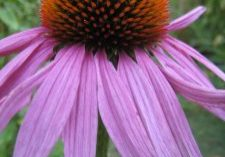 A photo of Echinacea purpurea flower up close.