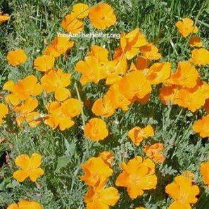 Eschscholzia Californica California Poppy