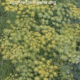 Foeniculum vulgare Fennel flowers