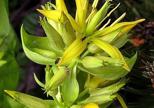 Genetiana lutea, A Bitter Herb For Indigestion - Photo by Gelber Enzian