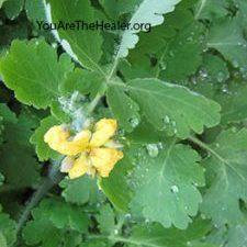 Greater Celandine Chelidonium majus